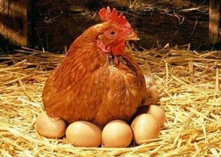 قیمت مرغ کاهش یافت و به نرخ مصوب نزدیک شد