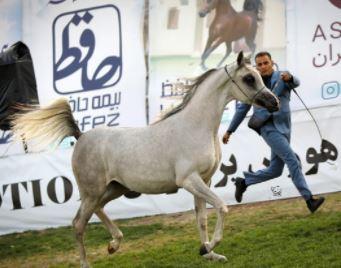 حضور بیمه حافظ در جشنواره اسب اصیل عرب